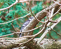 Downy Woodpecker (Dryobates pubescens). Image taken with a Nikon D810a camera and 70-200 mm f/4 VR lens.