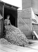9969-2034. Scooping out the dry hops. September 9, 1935. Riverside Hop farm, owned by A.J. Ray and Son, Inc., Newberg, Oregon.