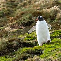 A lone gentoo penguin walks down a grassy hillside at Moltke Harbour on South Georgia Island.