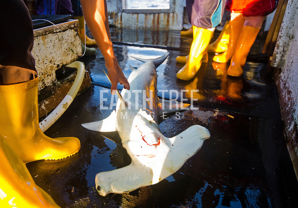 A scalloped hammerhead shark ( Sphyrne lewini ) is landed on the longline, Sing Man Yi,  No 6, in the Pacific ocean. Photo: Paul Hilton/Greenpeace for Earth Tree Images