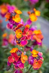 Erysimum 'Winter Sorbet' - Perennial wallflower