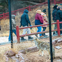 A Máii ,a  coyote, peers from a habit at guests during a Winter Stories and Songs tour by Anderson Hoskie at the Navajo Nation Zoo in Window Rock Wednesday.