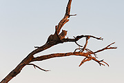 A leopard, Panthera pardus, warming with the last ray of sun.