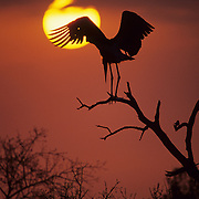 Marabou Stork perched on a tree limb, silhouetted against the sunset. Kruger National Park, Africa