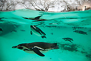 London, UK. Thursday 3rd January 2013. Zookeepers count every animal during ZSL London Zoo's annual stocktake. The compulsory count is required as part of ZSL London Zoo's zoo license, and all of the information is logged into the International Species Information System (ISIS), where it's used to manage the international breeding programmes for endangered animals. Penguins swimming in their underwater enclosure.