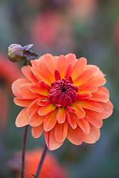 Dahlia 'Orange Pekoe'