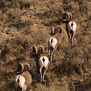 Group of Bighorn Sheep(Ovis canadensis) rams.Yellowstone National Park.