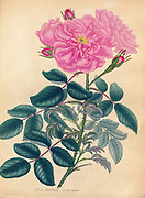 ROSA menstrua, Var. flore racemoso. Monthly Rose, Cluster-flowered Variety From the book Roses, or, A monograph of the genus Rosa : containing coloured figures of all the known species and beautiful varieties, drawn, engraved, described, and coloured, from living plants. by Andrews, Henry Charles, Published in London : printed by R. Taylor and Co. ; 1805.