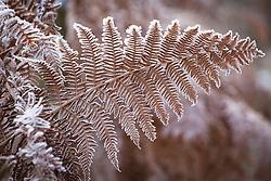 Hoar frost on bracken by a fence. Pteridium aquilinum