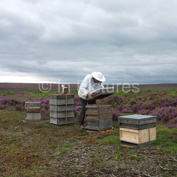 A beekeeper insprects his beehives in amongst the purple heather on the North York Moors, North Yorkshire, UK