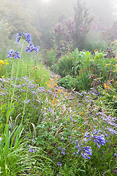 Border at Glebe Cottage in early August with agapanthus and asters in the foreground