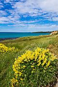Lupine on the Otago Coast, Kakanui, Otago, South Island, New Zealand