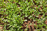 Coriander herb growing at farm smallholding at Sawai Madhopur near Ranthambore in Rajasthan, India
