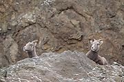 Bighorn sheep ewes lying on a rocky cliff