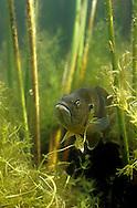 Green Sunfish<br /> <br /> ENGBRETSON UNDERWATER PHOTOGRAPHY