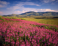 Meadows of fireweed, Lamar Valley Yellowstone National Park Wyoming