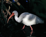 White Ibis hunting in mangroves at Ding Darling National Wildlife Refuge on Sanibel Island, Florida