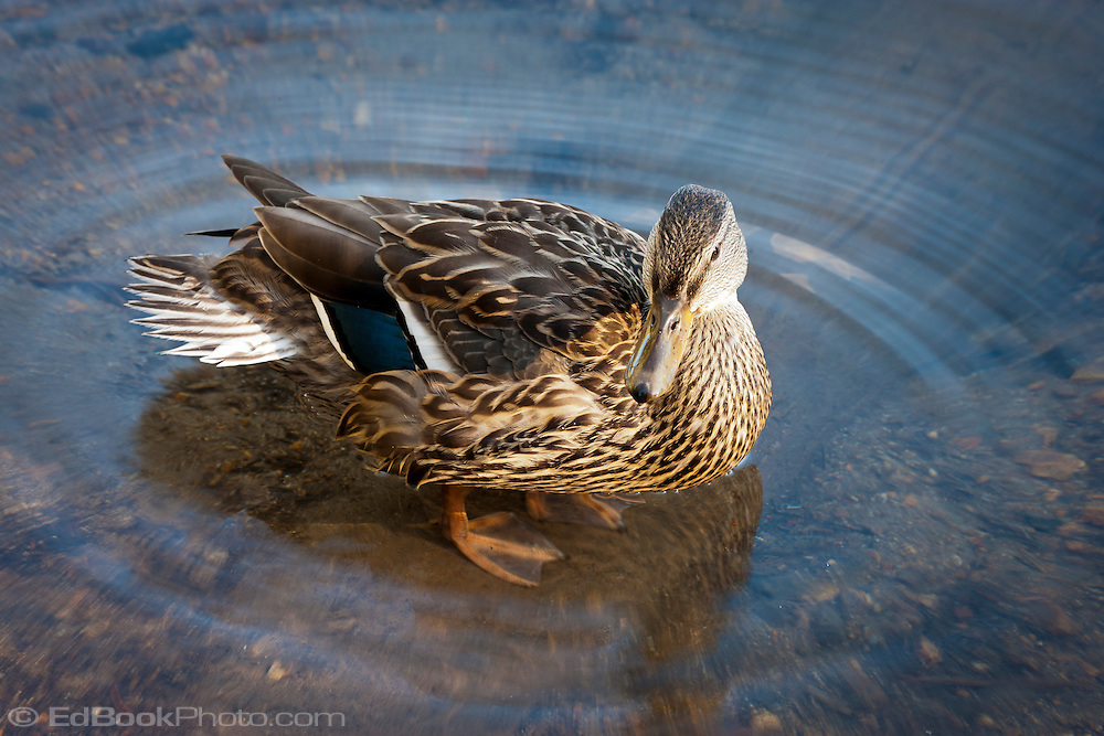 female Mallard duck (Anas platyrhynchos) a surface-feeding duck stands in a circle of ripples in Takhlakh Lake in the Gifford Pinchot National Forest, Washington state, USA panorama