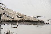 American crocodiles (Crocodylus acutus) in the Tarcoles River, Costa Rica