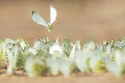 Green-veined white (Pieris napi) butterfly group swarming over small puddle, Vidzeme, Latvia Ⓒ Davis Ulands | davisulands.com