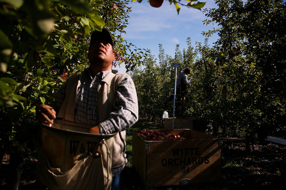 A Mexican immigrant picks apples at an orchard...Phillippi Fruit Company..For Graceland Project 2008.
