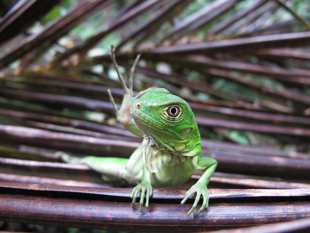 Iguanilla. Clayton, Panamá<br /> <br /> Edición de 3 | Víctor Santamaría.
