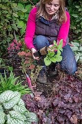 Planting biennials - foxgloves - in a border in autumn