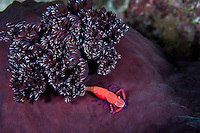 An Emperor Shrimp poses around the gills of a large Nudibranch.<br /> <br /> Shot in Indonesia