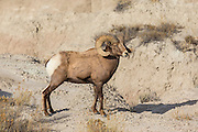 Rocky mountain bighorn sheep Bighorn ram in South Dakota badlands
