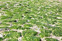 VLIELAND -  zeewier. Strandopgang met duinen met helmgras. .  COPYRIGHT KOEN SUYK