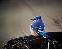 Blue Jay. Image taken with a Nikon D5 camera and 600 mm f/4 lens (ISO 1600, 600 mm, f/4, 1/800 sec)