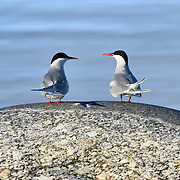 A pair of Arctic terns (Sterna paradisaea) taking a break betweeen periods of fishing. These birds migrate from the Arctic to Antarctica and back each year, spending summer in the northern and southern hemispheres. Round trip distances traveled by these birds involve tens of thousands of kilometers.