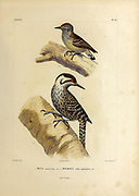 hand coloured sketch Top: white-wedged piculet (Picumnus albosquamatus [Here as Picumnus albo-squamatus]) Bottom: striped woodpecker (Veniliornis lignarius [Here as Picus puncticeps]) From the book 'Voyage dans l'Amérique Méridionale' [Journey to South America: (Brazil, the eastern republic of Uruguay, the Argentine Republic, Patagonia, the republic of Chile, the republic of Bolivia, the republic of Peru), executed during the years 1826 - 1833] 4th volume Part 3 By: Orbigny, Alcide Dessalines d', d'Orbigny, 1802-1857; Montagne, Jean François Camille, 1784-1866; Martius, Karl Friedrich Philipp von, 1794-1868 Published Paris :Chez Pitois-Levrault et c.e ... ;1835-1847