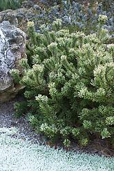 Pinus mugo 'Laarheide' in winter - Dwarf mountain pine