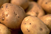 Close up, selective focus photograph of a group of round white potatoes
