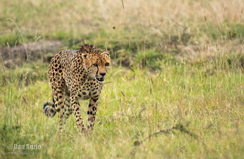 Cheetah, Acinonyx jubatus jubatus, in Maasai Mara National Reserve, Kenya