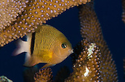 Blackbar Damsel (Plectroglyphidodon dickii)<br /> Rainbow Reef<br /> Fiji. South Pacific