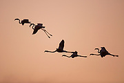 A flock of Greater Flamingo (Phoenicopterus roseus) in flight silhouetted at sunset. Photographed at the Ein Afek nature reserve, Israel in October