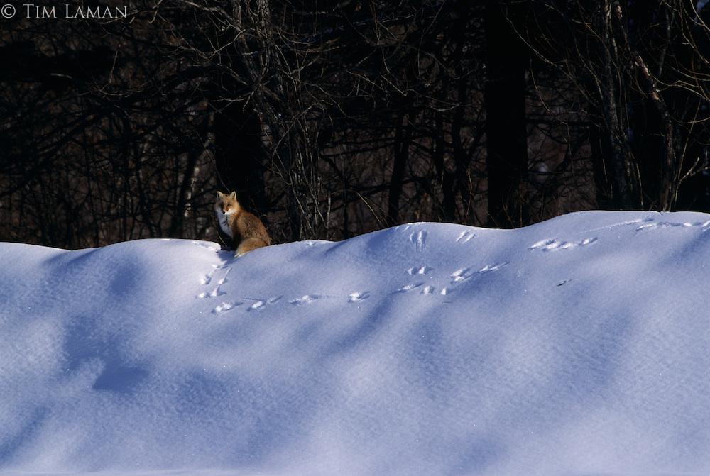 A red fox on a crest of snow at the edge of a forest.