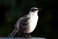 Catbirds, Mockingbirds, Mynas, Starlings, Thrashers, etc.