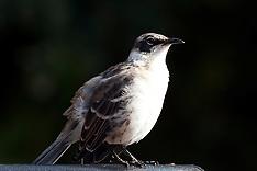 Galapagos Mockingbird (Mimus parvulus)