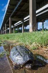 Snapping Turtle and highway overpass, Great Trinity Forest, Dallas, Texas, USA