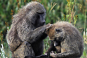 Olive Baboon (Papio anubis), also called the Anubis Baboon Mother interacting with young photographed in Africa, Tanzania, Serengeti National Park .