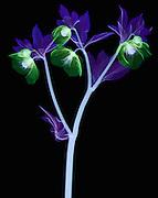 False color X-ray of Hellebore (Helleborus orientalis) flowers.