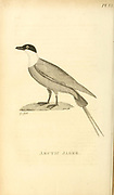 Arctic Jager, Skua,  from the 1825 volume (Aves) of 'General Zoology or Systematic Natural History' by British naturalist George Shaw (1751-1813). Shaw wrote the text (in English and Latin). He was a medical doctor, a Fellow of the Royal Society, co-founder of the Linnean Society and a zoologist at the British Museum. Engraved by Mrs. Griffith