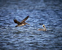 Pair of Brown Pelicans, one flying, one in the water.  Biolab Road, Merritt Island National Wildlife Refuge. Image taken with a Nikon D4 camera and 600 mm f/4 VR lens (ISO 100, 600 mm, f/4, 1/1600 sec).