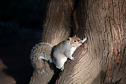 Grey squirrel in Birmingham, United Kingdom. Sciurus carolinensis, common name eastern gray squirrel or grey squirrel depending on region, is a tree squirrel in the genus Sciurus. It is native to eastern US, where it is the most prodigious and ecologically essential natural forest regenerator, yet is now the predominant squirrel species in the UK.