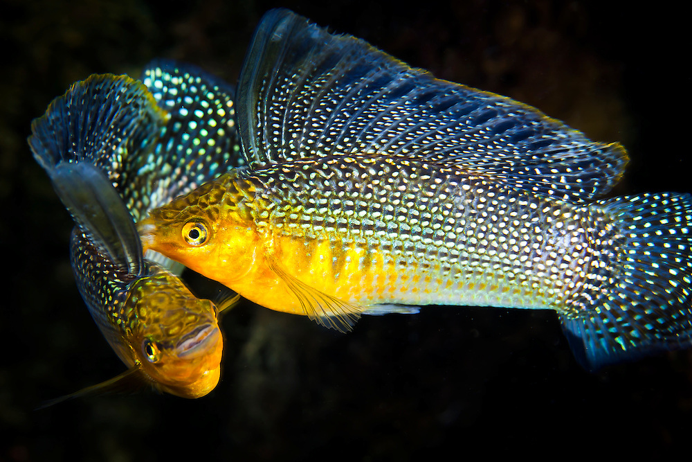 Mexico, Quintana Roo. Two beautiful sailfin mollyes engaged in a battle at cenote Jardines del Eden.