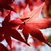 Red momiji Japanese maple leaves in the warm morning light of autumn at Kita no Tenman-gu in Kyoto, Japan
