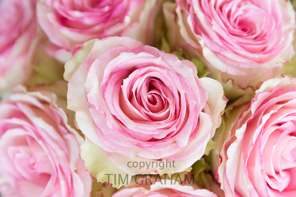 Lace-edged attractive two tone blooms of pastel pink roses edged in cream,  elegant bouquet style floral arrangement display